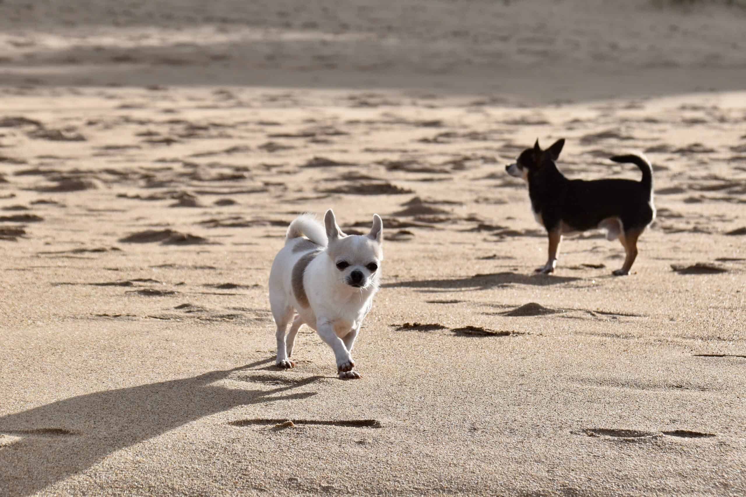 chihuahua, dogs, sand